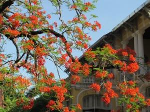 Phượng trước nhà Khu Công Chánh - Huế ( cũ ) ảnh Nguyễn Văn Dũng - Huế 29 - 5 - 2014