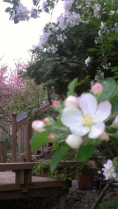 Hoa Táo va Kwanzan Cherry Photo by Duyên