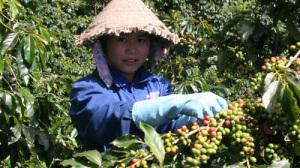Cà phê Arabica dòng Moka – một trong những giống cà phê chỉ trồng tại khu vực Cầu Đất, TP Đà Lạt mới cho chất lượng cao (Ảnh: http://giacaphe.com)