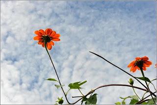 Hoa dã quỳ đỏ
